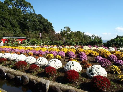 大雄町花咲く里山ざる菊まつり