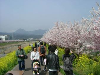 春木径と幸せ道 早春の春めき(足柄桜)