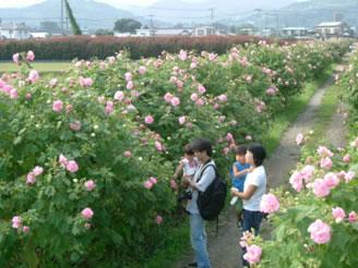 日本一の酔芙蓉農道 秋色景色