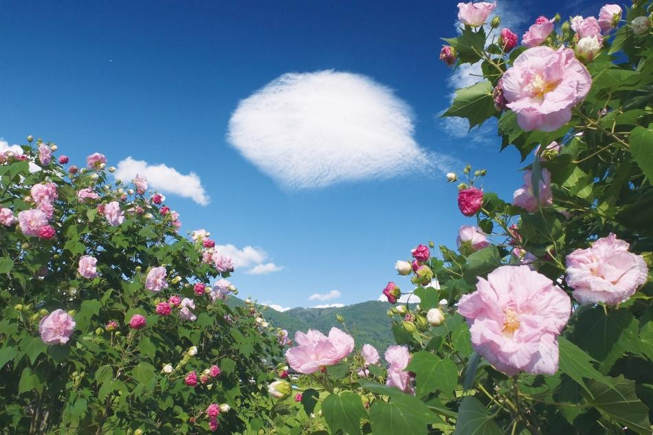「酔芙蓉と秋の空」