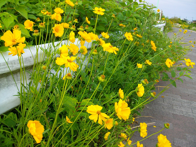 市内で咲くオオキンケイギク