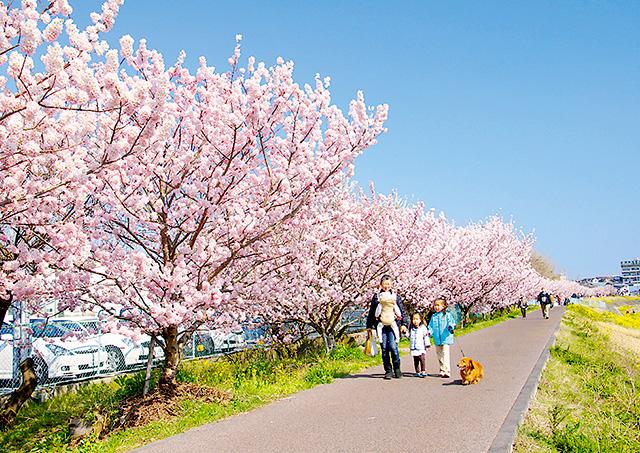 春めき(桜)