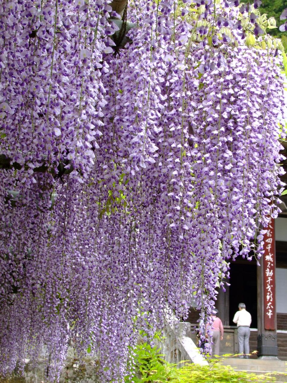 「藤の花咲くころ」