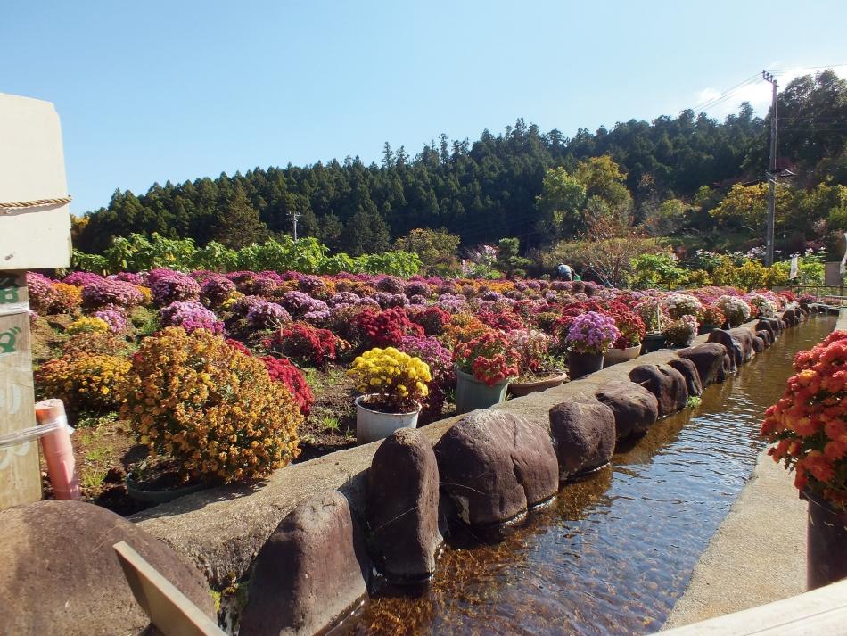 「里山に咲く菊の華」