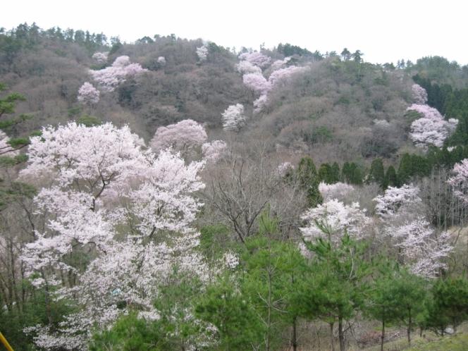 「エドヒガン」の桜の群生