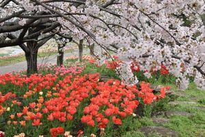 中部公民館のチューリップが満開の花壇と満開のソメイヨシノ