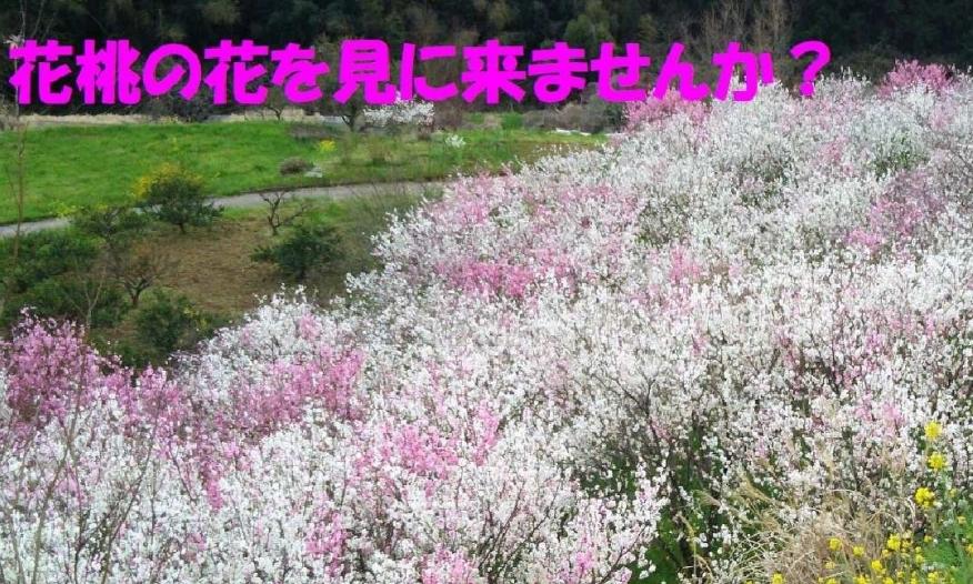 2015年の花桃の開花の様子