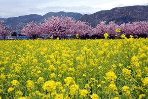 2018年  春の花情報(市内桜まつり)