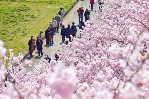 【テレビでも紹介】市内の春めき桜が満開になり、見ごろを迎えています