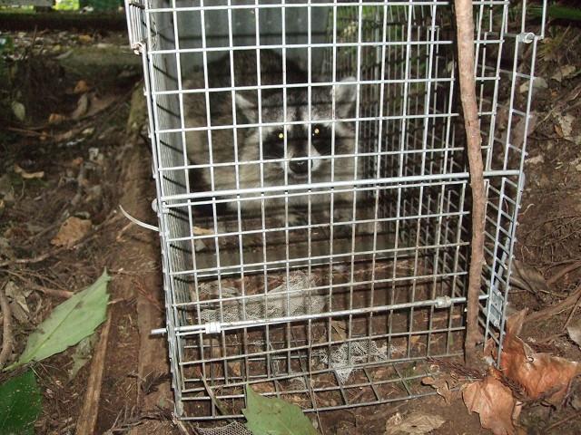 アライグマの写真(平成27年度捕獲時)
