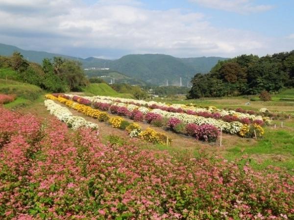 内山ざる菊