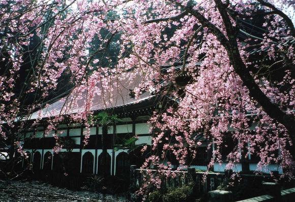 最乗寺のさくら(3月下旬)